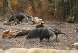 6142_anteaters.JPG