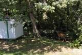 deer 061312