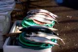 Fresh Mackerels( Kodhungo)
