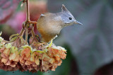 Striped Throated Yuhina