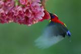 Mrs Gould's Sunbird feeding in flight