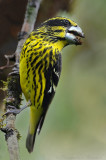 Spot winged Grosbeak