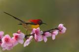 Mrs Goulds Sunbird floral 2