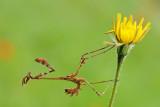 Mantis - סוסת השד - Empusa fasciata