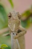 Chameleon - זיקית מובהקת - Chamaeleo chamaeleon
