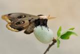 Giant Peacock Moth - שבתאי השקד - Saturnia pyri
