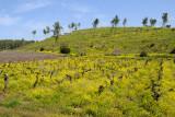 Vines & Wild mustard - גפנים וחרדל