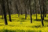 Wild mustard Forest - יער חרדל