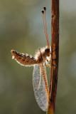 Owlfly - ארימחוש שעיר - Bubopsis andromache