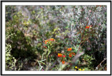 Desert Museum Hummingbird