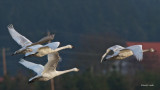 Swans Skagit Valley Fly Over