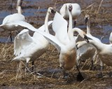 Swan Attack West of Spokane