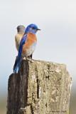 Western_Blue_bird_Male__Female
