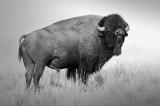Buffalo Western Montana -- A Big Boy