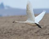 Swan_Launch