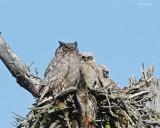 Great Horned Owl Turnbull Wild Life Refuge