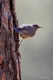 Western Blue Bird NWR Turnbull