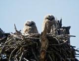 Great Horned Owl Chicks NWR Turnbull