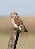 Short Eared Owl Spokane Co