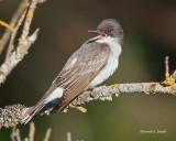 Eastern King Bird Turnbull NWR