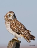Short_eared_owl West of Spokane