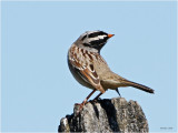 White Crown Sparrow Stretches