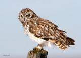 Short-eared Owl Spokane Co