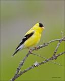 American Goldfinch Newman Lake