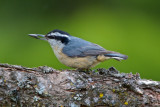 Nuthatch_snack, Newman Lake