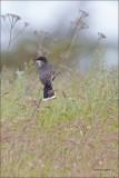 Eastern Kingbird, Turnbull NWR