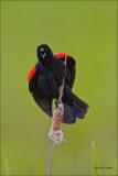 Red Winged Blackbird, Turnbull NWR