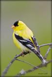 American Goldfinch Neman Lake, WA