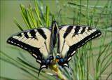 Monarch Butterfly Turnbull NWR