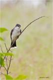 Eastern Kingbird Turnbull NWR