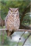 Great Horned Owl Newman Lake, WA