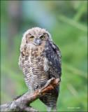 Great_Horned_Owlet
