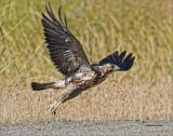 Red Tail Hawk Juvenile Take Off. West of Spokane