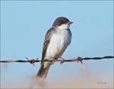 Eastern Kingbird West of Spokane
