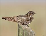 Common Nighthawk, West of Spokane