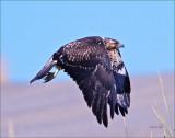 Juvenile Red tail Hawk West of Spokane