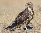 Juvenile Redtail Hawk on the ground