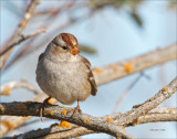 Juvenile White Crowned  Sparrow, West of Spokane