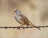 White Crowned Sparrow West of Spokane