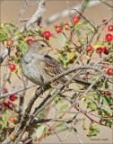 Juvenile White Crowned Sparrow  West of Spokane