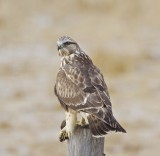 Rough Legged Hawk with Mouse