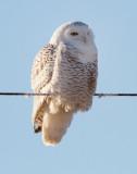Snowy_Owl West of Spokane