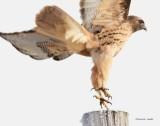 Rough Legged Hawk_Blast Off