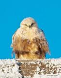 Rough Legged Hawk_Cold Winter Day