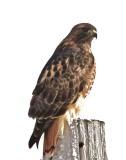 Rough Legged Hawk_On_Frosty Pole