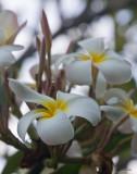 Plumeria Flower, Kauai, Hawaii